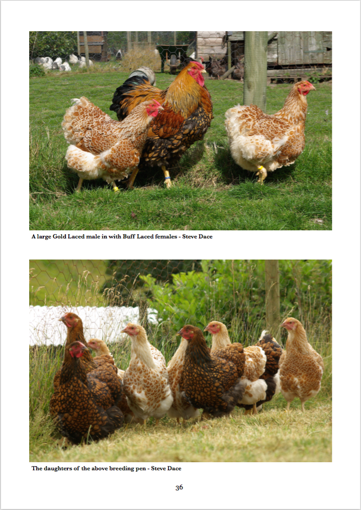 Buff Laced Gold Laced Wyandotte Colour Breeding